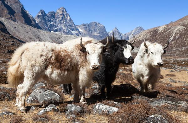 Jak ull fra Himalaya, Nepal